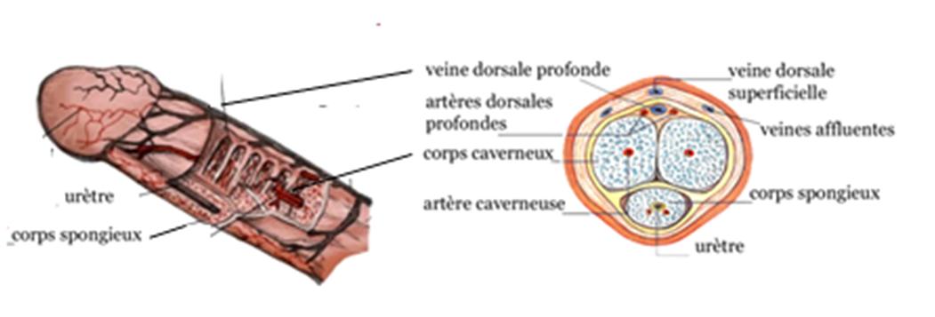 Veine dure et gonfle au pnis - Sant-Mdecine
